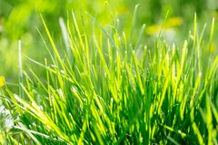 Green Grass Background. natural grass lawn in the garden. Bright vibrant green grass close-up. natural grass lawn in the garden in early sunny morning. soft stock images
