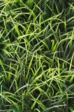 Green Grass Background with nobody. Royalty Free Stock Photo