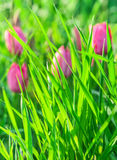 Green grass on a background of pink tulips Royalty Free Stock Photography