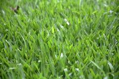 Green grass. Background  reaching toward the sunlight Royalty Free Stock Photos