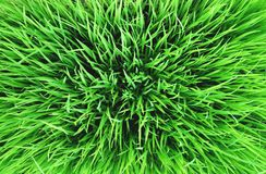 Green Grass Background, Rice Plant, Abstract Stock Images