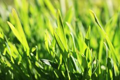 Green grass background (Shallow DOF) Royalty Free Stock Images