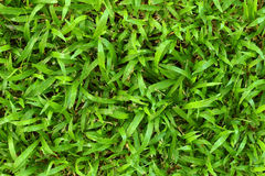 Green grass. Background or texture Royalty Free Stock Images