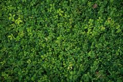 Green grass background texture. For design material royalty free stock image