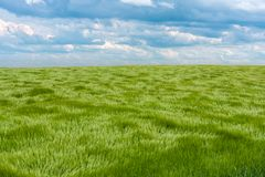 Natural green grass with the waves of wind. Waves of wind rolling through fields of long grass of wheat under the blue Stock Photos