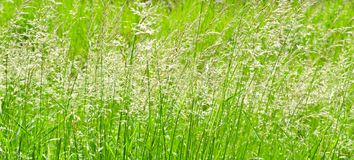 Perfect green background by the fresh grass . Wide photo. Royalty Free Stock Photography