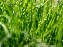 Green grass background texture. Field of fresh green grass texture as a background, top view, horizontal. Artificial green grass texture for background royalty free stock photo