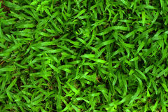 Green grass background texture in the garden. Stock Images