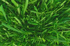 Green grass. background texture. Stock Image