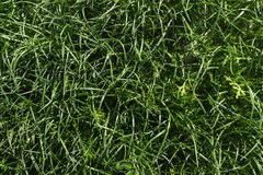 Green grass background texture. Natural background texture. Sunny day Stock Image