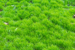 Green grass background. And texture in nature Stock Images