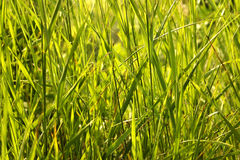 Green grass background. Background, texture green grass thicket Stock Photos