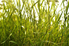 Green grass background. Background, texture green grass thicket Royalty Free Stock Photo
