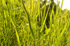 Green grass background. Background, texture green grass thicket Royalty Free Stock Images