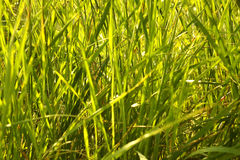 Green grass background. Background, texture green grass thicket Stock Photography