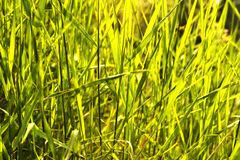 Green grass background. Background, texture green grass thicket Royalty Free Stock Photos