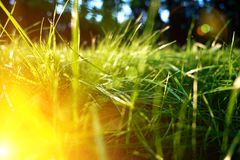 Green grass background, toned bright grass closeup view with sun beams and lens flare royalty free stock image