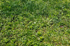 Green grass background. Top view Royalty Free Stock Images