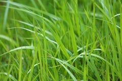 Green grass background. Green grass in vegetable garden Royalty Free Stock Photos