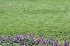 Green grass background w/flowers. Green grass (lawn) background with tall purple flowers in foreground; can be used as a background for text or image Royalty Free Stock Photo