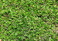 Green grass. Green grass background. for web design Royalty Free Stock Photo