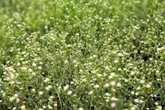 Small white flowers green plants wallpaper. Green Grass Background and white flowers background wallpaper. beautiful white small flowers on green plant. nature Royalty Free Stock Photos