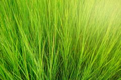 Green grass background with yellow sunlight on morning. Summer background royalty free stock photo