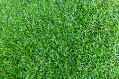 Green grass backgrounds. Green grass in daytime backgrounds Royalty Free Stock Photography