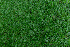 Green grass backgrounds. Green grass in daytime backgrounds Royalty Free Stock Images