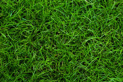 Green grass backgrounds. Green grass in daytime backgrounds Stock Photo
