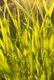 Green grass in backlight. Green grass background in backlight Stock Photography