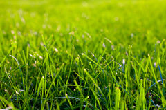 Green grass backlit Stock Photography