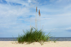 Green grass on baltic beach. Royalty Free Stock Photos