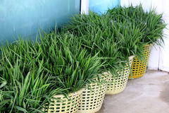 Green grass in a basket. Royalty Free Stock Photography