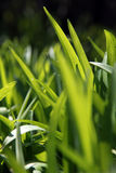 Green grass. Beautiful green garden with grass on dark blur background Royalty Free Stock Photography