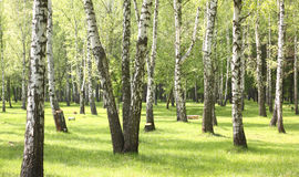 Green grass in birch grove in early summer Royalty Free Stock Photos