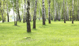Green grass in birch grove in early summer Royalty Free Stock Image