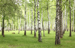 Green grass in birch grove in early summer Stock Images