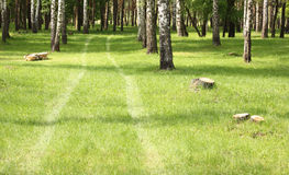 Green grass in birch grove in early summer Stock Image