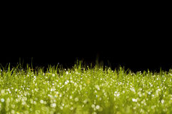 Green grass on a black background. Green grass with some moisture on a black background Royalty Free Stock Photo