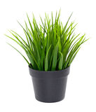 Green grass in black flower pot Royalty Free Stock Images