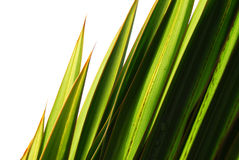 Green grass blade Royalty Free Stock Photography