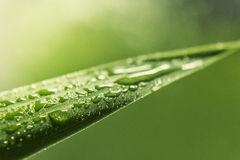 Green Grass blade Water Drop Royalty Free Stock Photo