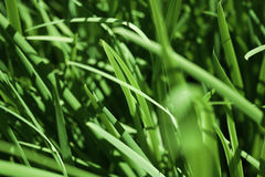 Green Grass Blades. Close Up of Green Blades of Grass Royalty Free Stock Photos