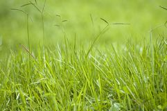 Green Grass blades Royalty Free Stock Images