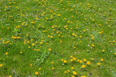 Green grass and blooming dandelions. Green grass and blooming yellow dandelions in spring Stock Photography