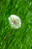 Green grass and blowballs. Dandelion on a background green grass Royalty Free Stock Image