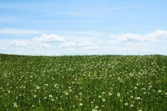 Green grass with blowballs  blue sky with clouds. Summer landscape green meadow sky with clouds Royalty Free Stock Photography