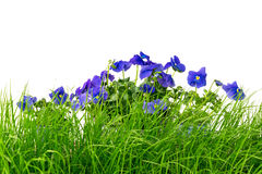 Green grass and blue pansies against white background Royalty Free Stock Photography