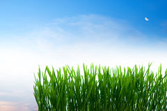 Green grass and blue sky. Closeup of green grass with blue sky background Stock Photo